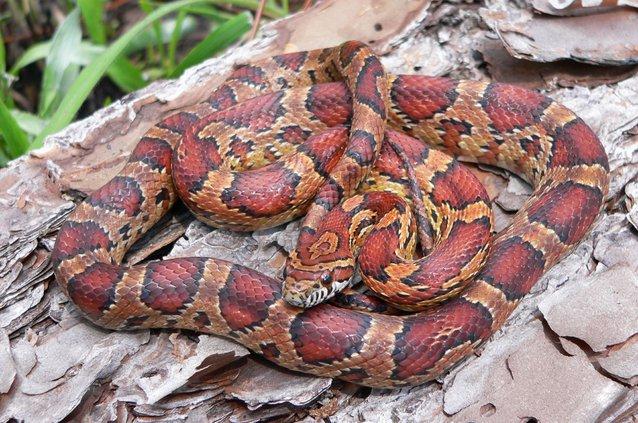 Corn Snake_John Jensen_DNR.jpg